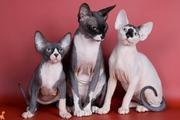 Котята канадского сфинкса(ДОСТАВКА)