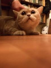 Британская кошка-отдам в хорошие руки