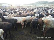 Продам овец! Казахская курдючная порода мясосального направления