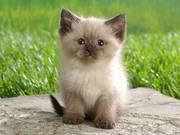 отдам в добрые руки маленького домашнего котенка
